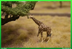 Hungry Giraffe (uslovig) Tags: africa railroad train landscape layout model eating south giraffe ho 187 modellbahn akazie h0