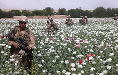 PoppyWalk (United States Marine Corps Official Page) Tags: pink red white afghanistan usmc blossom 25 bloom coalition marinecorps patrol nato combatcamera miltiary poppyfield oef isaf comcam jointoperationstaskforce lancecplismaelortega