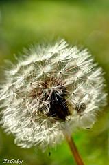 Pissenlit - Dandelion HDR (ZeGaby) Tags: flowers macro nature fleurs pentax champagne dandelion hdr pissenlit marne k200d