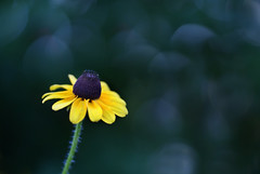 Black Eyed Susan~Explored! (j man ) Tags: life lighting blue friends light black flower color macro art texture nature floral beautiful yellow closeup lens photography illinois cool flickr loneliness dof blossom susan bokeh pov background sony details favorites 11 depthoffield explore pointofview sp ii views di if f2 eyed tamron comments ld washingtonpark jman a300 af60mm mygearandme flickrbronzetrophygroup
