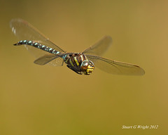Hawker (Stuart G Wright Photography) Tags: dragonfly wildlife cannock chase staffordshire hawker staffs wwwstuartgwrightcom
