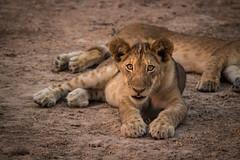 Lion Cubs Playing at Sunset (virtualwayfarer) Tags: africa cats cute nature animals cat wildlife lion safari lazy playful lioncub zambia africanbush wildlion alexberger virtualwayfarer