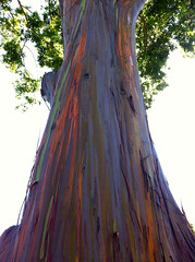 beautiful tree (allysonnona) Tags: tree rainbow bark eucalyptus pearlridge aiea iphone rainbowtree rainboweucalyptus rainbowbark