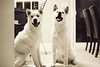 Week 44 of 52 (Ronaldo.S) Tags: pets white silly dogs puppies goofballs akita