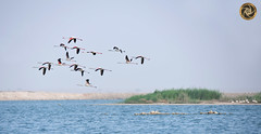 flamingo (RASHID ALKUBAISI) Tags: qatar rashid d800       alkubaisi  nikond800  wwwrashidalkubaisicom