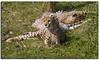 Cheetah (Muzammil (Moz)) Tags: cheetah moz muzammilhussain