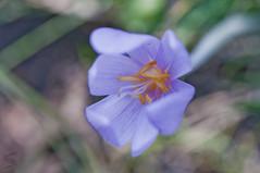 Macro flower (Vascotto V.) Tags: italy mountain flower macro nature nikon italia natura micro mm 105 nikkor fiore veneto 105mm d90 naturalistic naturalistica nikond90 vascotto