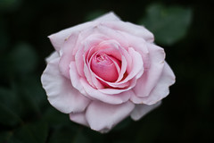 Roses are pink (C S Knight) Tags: pink flower rose canon garden 50mm dof olympus adapter f18 18 zuiko pinkrose olympuszuiko 450d canoneos450d olympuszuiko50mm bigaperature