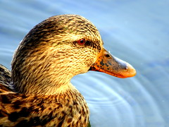 What are you thinking about? (marcoaj) Tags: portrait lake bird eye nature water look female drops head breath beak wave mallard plumage caldonazzo lagodicaldonazzo calceranica marcoajelli ajelli