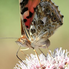Thistly Lady (Ger Bosma) Tags: cosmopolitan paintedlady distelvlinder vanessacardui distelfalter x213 vanesseduchardon vanessadelcardo vanesadeloscardos mygearandme mygearandmepremium mygearandmebronze mygearandmesilver mygearandmegold mygearandmeplatinum mygearandmediamond flickrstruereflection1 flickrstruereflection2 img58683afiltered
