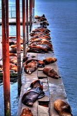 Sea Lions Galore (Jitabebe) Tags: ocean sky clouds oregon marine sailing pacificocean astoria pacificnorthwest sealion cannonbeach marinas stellers seasidebeach