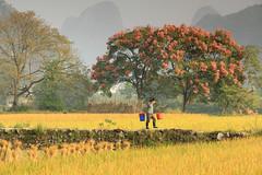 Halcyon Days of Autumn (craigkass) Tags: china autumn fall yangshuo harvest karst guangxi rurallife limestonekarst