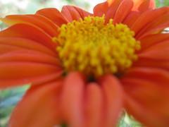 Orange Flower (Mandi Joy Photography) Tags: orange flower nature beautiful yellow garden photography petals pretty joy petal bee busy bumble mandi pollin mandijoylickin