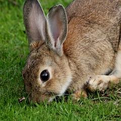 Bees, Birds and ....Bunnies! (Ger Bosma) Tags: rabbit bunny konijn conejo lapin kaninchen playmate looneytunes oryctolaguscuniculus elmurfudd img62204a