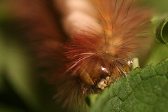 """Pale Tussock Moth Caterpillar(1) • <a style=""""font-size:0.8em;"""" href=""""http://www.flickr.com/photos/57024565@N00/8040444819/"""" target=""""_blank"""">View on Flickr</a>"""