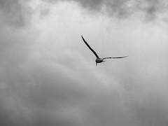 001 volar, libertad, pensar, buscar, elegir.. (Nicolas Patio) Tags: marina libertad ave cielo gaviota paxon pensar volar buscar nigran elegir panjon