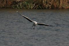 Grey Headed Gull (pjah73) Tags: africa kingfisher giraffe hippopotamus botswana africanelephant fisheagle littleegret bushveld nilemonitor africanbuffalo choberiver nilecrocodile chobenationalpark zambeziriver reedcormorant pjah73