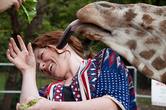 The Giraffe gets fresh. (Scriblerus) Tags: animal memphis m giraffe memphiszoo camelopard