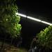 2012 Cal Plans Woods Chardonnay Harvest 0011