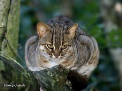 Chat rubigineux (home77_Pascale) Tags: animal félin canoneos50d parcdesfélins flickrbronze nesles chatrubigineux flickr3levels