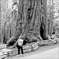 In front of the tree (Ksung) Tags: california wood bw usa tree texture nature girl pinetree america forest canon nationalpark technology wideangle yosemite trunk sequoia 1022 mariposagrove ipad eos60d