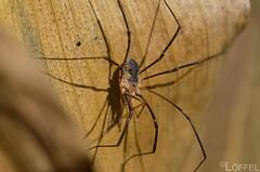 Spinne (Lffu) Tags: insect spinne lffel insekten flgel