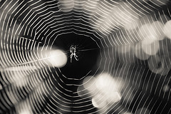 Spider (Norbert Krlik) Tags: bw spider bokeh web canoneos5d canonef100mmf28macrousm