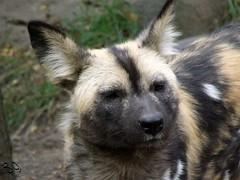 African Wild Dog 1 (Fiat Lupi) Tags: monochrome animals wildlife canine endangered predator carnivore africanwilddog painteddog