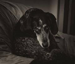 40/52 reproachful (huckleberryblue) Tags: blackandwhite dog gracie hound bluetickcoonhound week40 52weeksfordogs