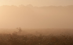 Stag 2 (nichbar) Tags: park mist animal silhouette canon stag richmond deer antlers ferns 70200f4l 40d