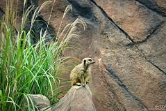 Meerkat_Virginia Zoological Park (REA_26) Tags: mammal zoo virginia meerkat african plains southernafrica omnivore virginiazoologicalpark