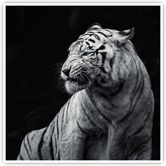 White Tiger [Explored] (Vin PSK) Tags: