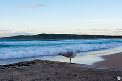 surfers and seagulls (arnimangoes) Tags: ocean beach landscape nikon surf seagull sydney maroubra waterscapes maroubrabeach d7100