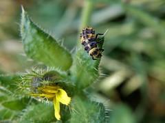 Coccinellidae (carlos mancilla) Tags: coccinellidae insectos larvas larvae escarabajos beetles olympussp570uz