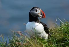 Puffin with a catch (Martin Ystenes - on Iceland) Tags: iceland sland martinystenes egilsstadir