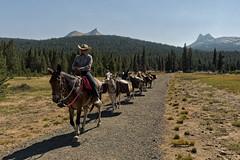 Pack Train (LeftCoastKenny) Tags: yosemitenationalpark tuolumnemeadows path horses rider trees grass mountains supplies saddlebags