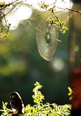 Early doors (dlanor smada) Tags: cobwebs contrejour backlit sparrows webs