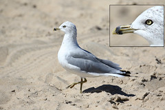 Ring-billed Gull with nictitating membrane...6O3A5065Ab (dklaughman) Tags: gull bird capehenlopen delaware