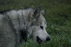 He Looks Like A Wolf (jayjay.and.the.wolf) Tags: wolf malamute dog bestfriend bigbadwolf nature wildlife nikon