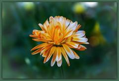 IMG_7477 (Arne J Dahl) Tags: morgenfrue marygold macro flower blomst frame vegetation canon5dmarkll elementsorganizer11 photoborder canon bokeh outdoor tamron90mmf28dimacro