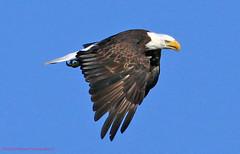 Bald Eagle (rumerbob) Tags: baldeagle eagle bird birdwatching birdwatcher birdofprey wildlife nature wildlifephotographer peacevalleypark lakegalena canon7dmarkii canon100400mmlens