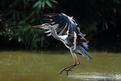 Frenaaa !!! (carlo612001) Tags: heron airone atterraggio ali volare wing wings landing oasidisantalessio wildlife wildlifepark