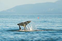 Tail Slap! (erickPDX) Tags: sanjuanislands orcasisland demorcas washington pnw