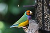 A Colourful Gouldian Finch (praja38) Tags: cambridgebutterflyconservatory ontario canada finch feathers colours nature wildlife captivity feeder beak seeds life capricorn zoo gouldian gouldianfinch male australian ladygouldianfinch gouldsfinch rainbowfinch