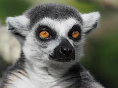 "Bright Eyes (Say ""Wasabi"") Tags: mzuiko40150 lemur ringtailedlemur marwell animal nature orange green wildlife brighteyes olympus olympusomdem5ii"