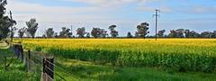 Fields of Yellow j_s (peterb666) Tags: nsw fields