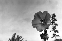 PARCELLE 16-034_18 (gyjishukke) Tags: analog argentique monochrome noiretblanc believeinfilm shootfilm minoltax700 50mm vgtal fleur ilford delta400 800iso selfdevelopment hc110b 10 20 bw