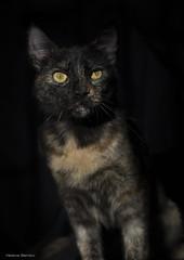 Aurora (leporcia) Tags: animales animals animalplanet cat cats chat chatterie gatos gato gatto carey katze katzen kitty aurora felino feline beauty black