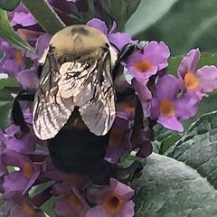 The bee in my butterfly bush (Renee Rendler-Kaplan) Tags: bee garden mysummergarden butterflybush blossoms flowers iphone iphoneography buzzing backyard august 2016 reneerendlerkaplan nature beautifulmothernature chicagoist chicagoreader consumerist wbez