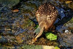 Dabble Duck (dobienet) Tags: birds scotland duck